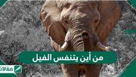 من أين يتنفس الفيل .. معلومات عامة عن حياة وسلوكات الفيل