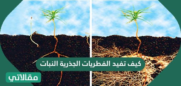 كيف تفيد الفطريات الجذرية النبات