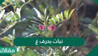 نبات بحرف الغين هل تعلم ما هو وما هي أهم استخداماته؟