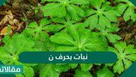 نبات بحرف النون واهم المعلومات عنها