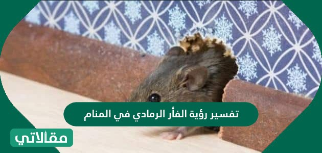 تفسير رؤية الفأر الرمادي في المنام لابن سيرين