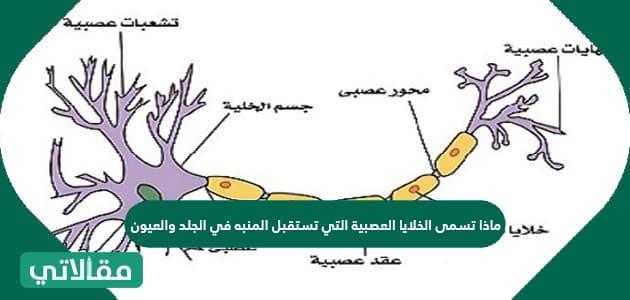 ماذا تسمى الخلايا العصبية التي تستقبل المنبه في الجلد والعيون