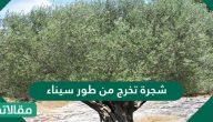 شجرة تخرج من طور سيناء ذكرها القرآن وأثبت العلم فوائدها العظيمة