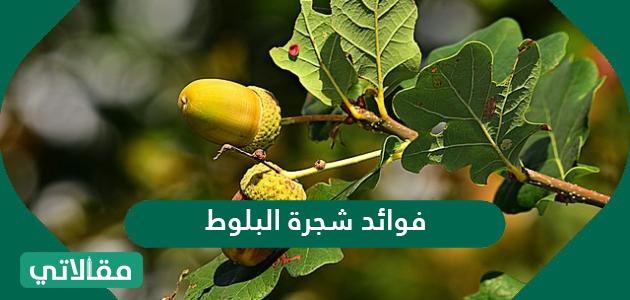 فوائد شجرة البلوط الصحية المختلفة واهم استخدامتها