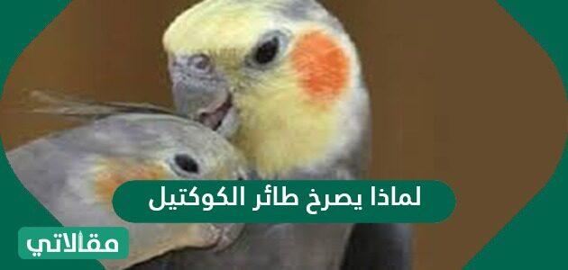 لماذا يصرخ طائر الكوكتيل