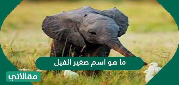 ما هو اسم صغير الفيل