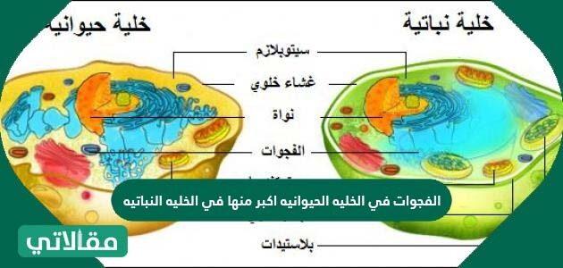 الفجوات في الخلية الحيوانية أكبر منها في الخلية النباتية