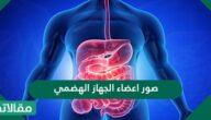 صور اعضاء الجهاز الهضمي